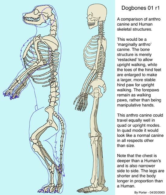 Dog leg bones anatomy